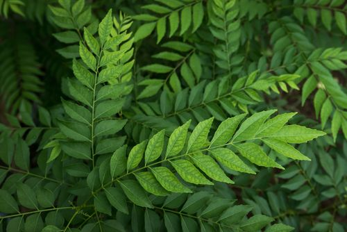 Health Benefits of Curry Leaves